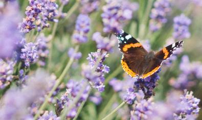 Una papallona