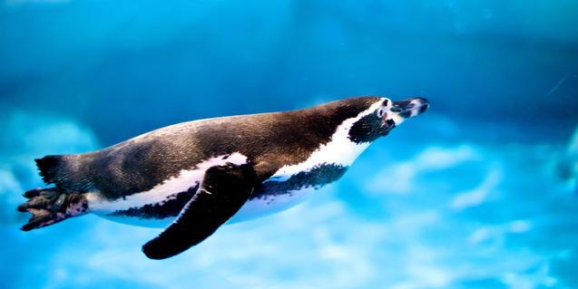 Pingüí nedant