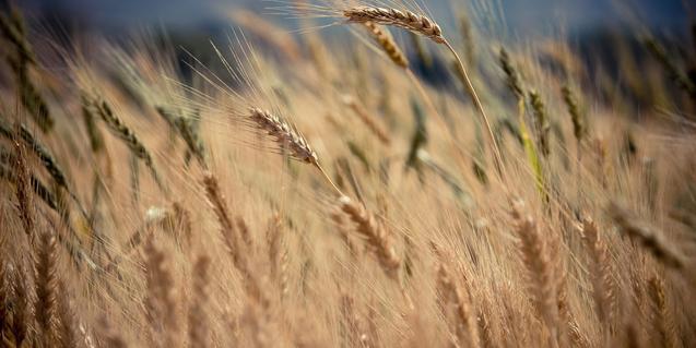 Imatge d'espigues de blat en un camp