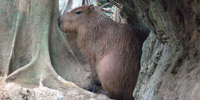Imatge d'un capibara al bosc inundat