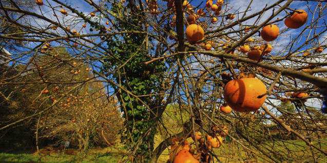 Una de las fotografías de la exposición muestra un árbol cargado de frutos
