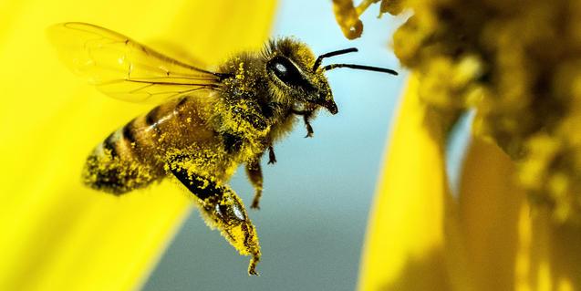 Una abella coberta de pol·len