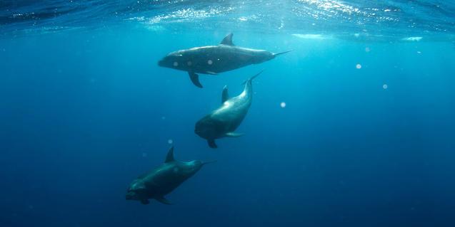 Imatge de dofins dins l'aigua