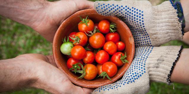 Tomates recién cogidos