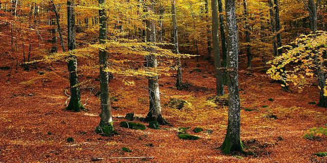Imagen de un hayedo en el otoño
