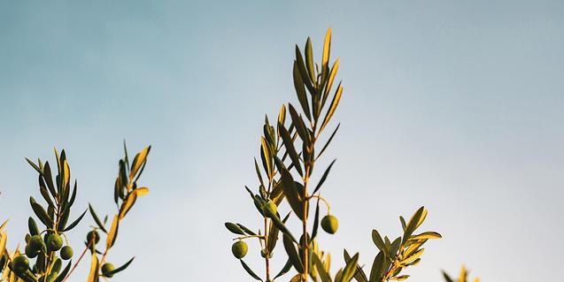 Foto d'una olivera