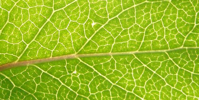 Imatge de les nerviacions d'una fulla