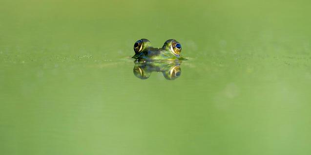 Imatge d'una granota dins l'aigua