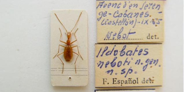 Pequeño 'Ildobates neboti', que fue descrito como especie por el profesor Francesc Español