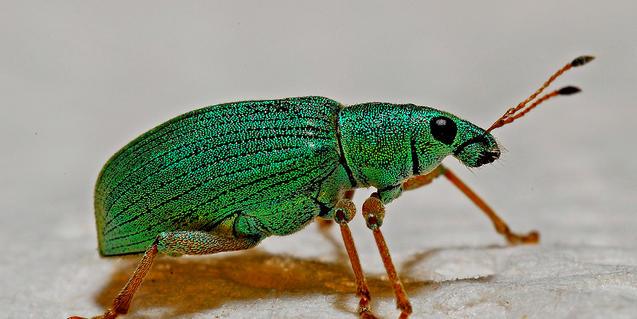 Imatge d'un escarabat