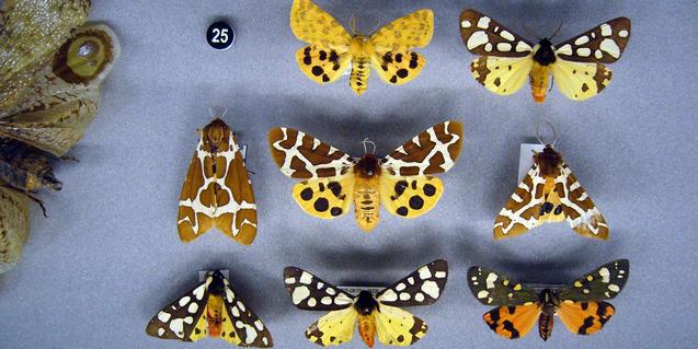 Imatge de papallones nocturnes de la col·lecció del museu