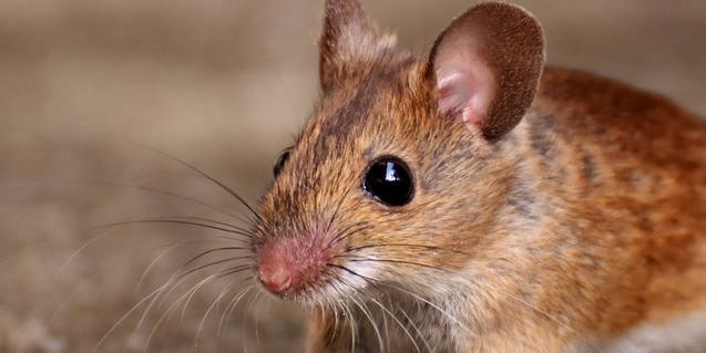 Imatge d'un ratolí de camp