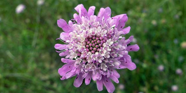 Imagen de una planta florida del género Scabiosa
