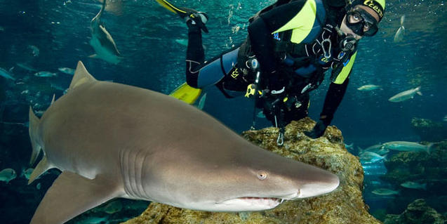Tiburón con un cuidador en L'Aquàrium