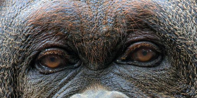 Mirada de orangután
