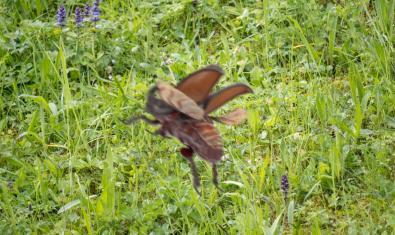 Un insecte en ple vol retratat sobre un camp verd