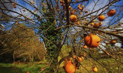 una de les fotografies de l'exposició mostra un arbre carregat de fruits