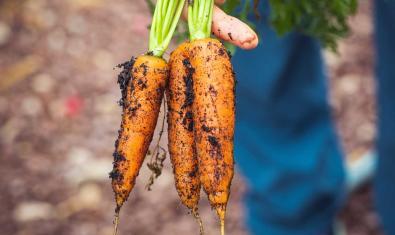 Foto de unas zanahorias