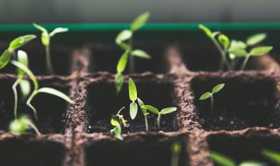 Imatge de plantes germinades