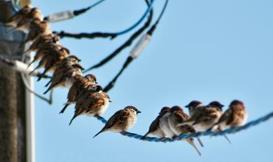 Imatge d'uns pardals sobre un cable elèctric