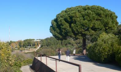 Foto d'un pi pinyer del Jardí Botànic