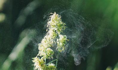 Imatge de pol·len en una planta
