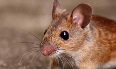 Imagen de un ratón de campo