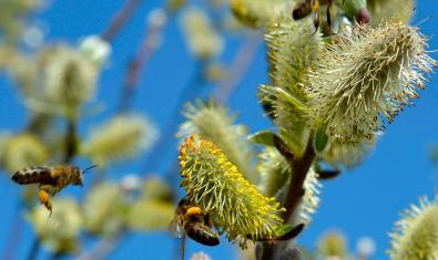 Imagen de abejas en flores de sauce