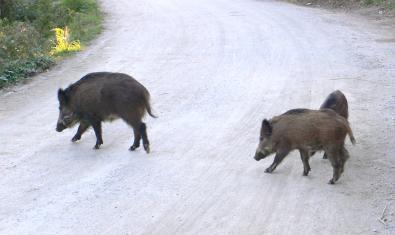 Imagen de jabalís en la Carretera de las Aguas