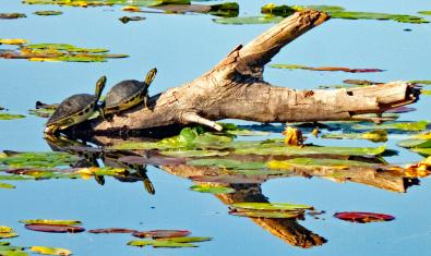 Imagen de tortugas de Florida